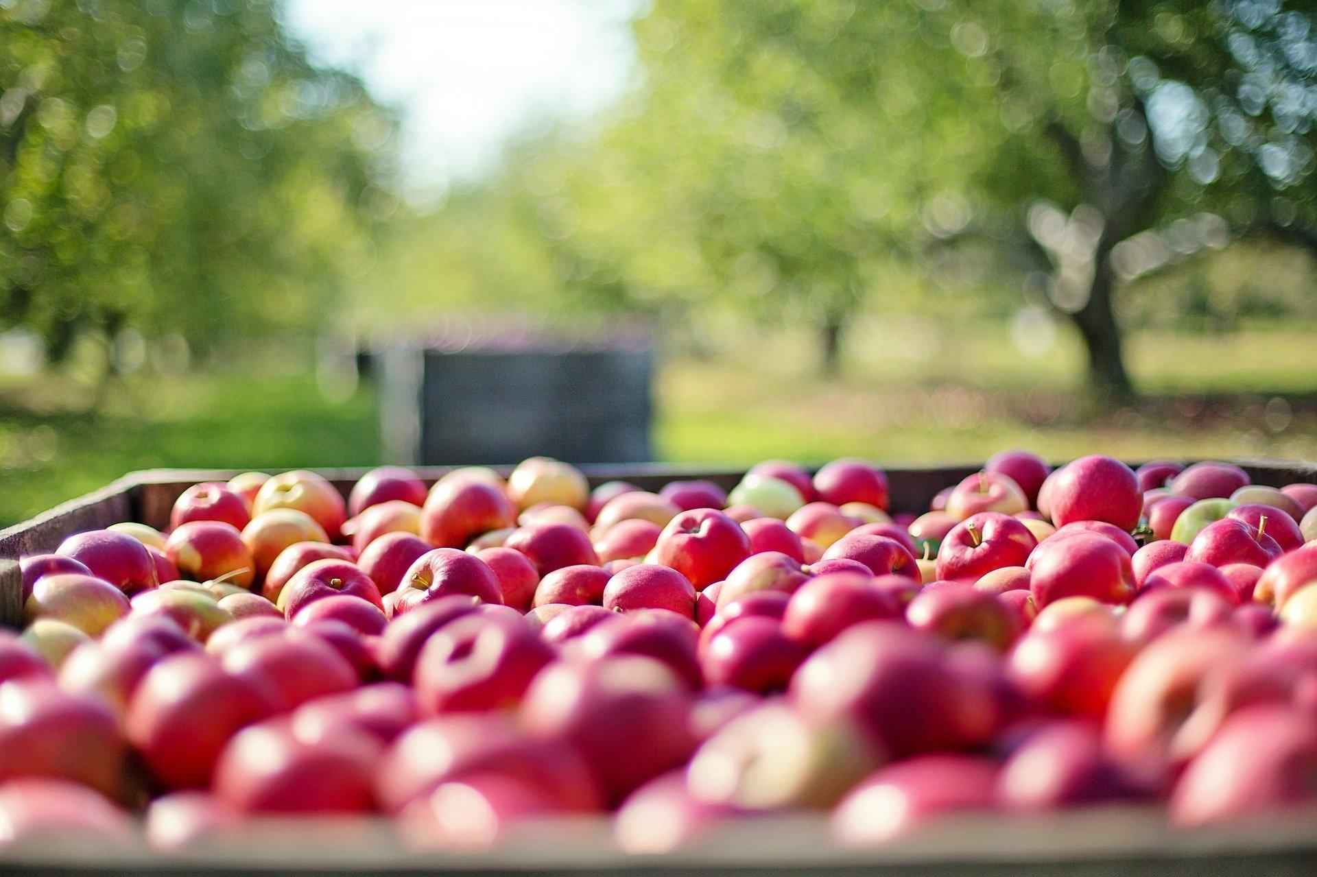 Prym wiedzie jabłko, tuż za nim pomidor i marchewka