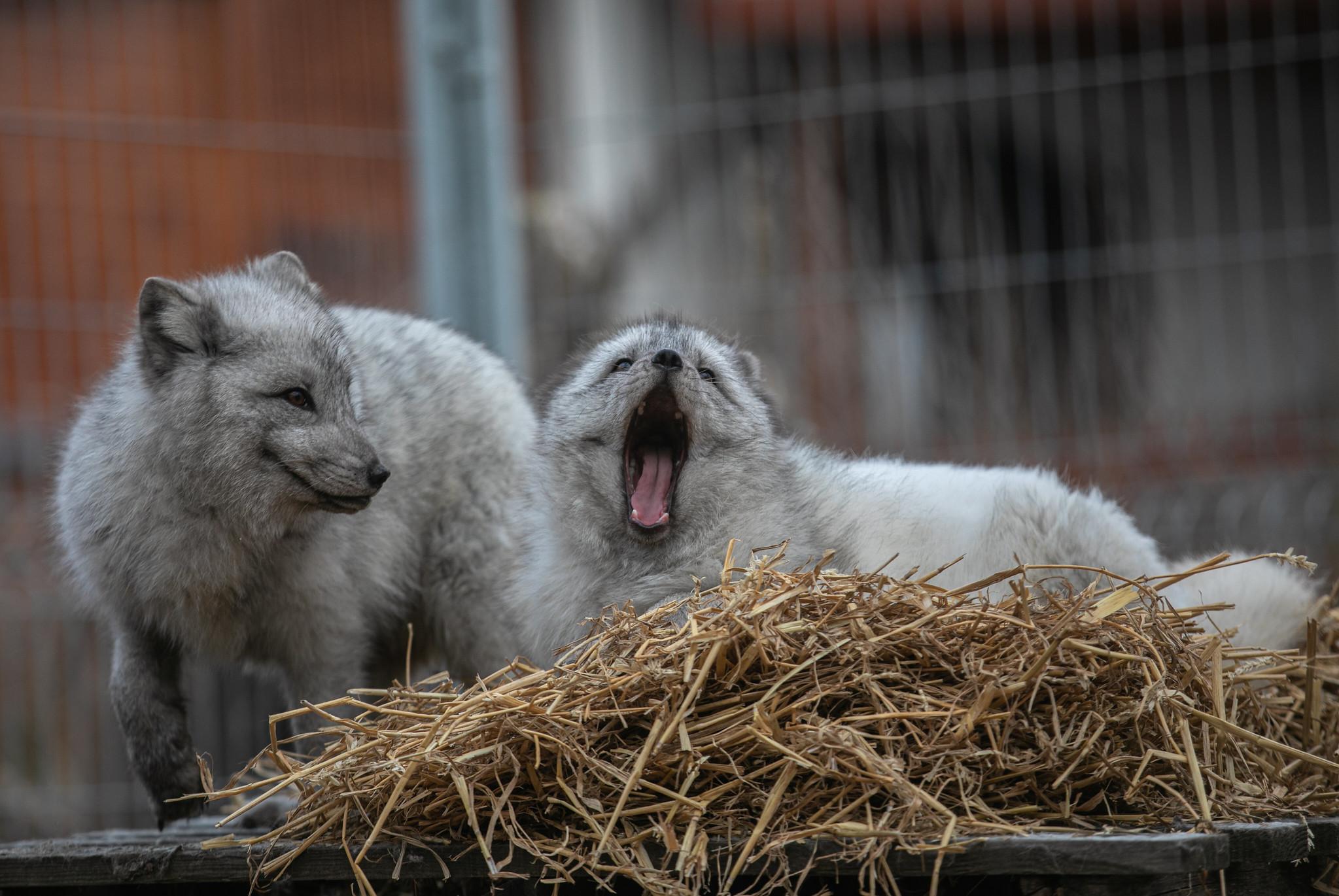 Estonia zakazuje hodowli zwierząt na futro!